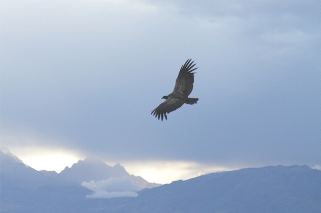 Condor Soaring over the Apurimac Canyon - Vegetarian Peru Adventures