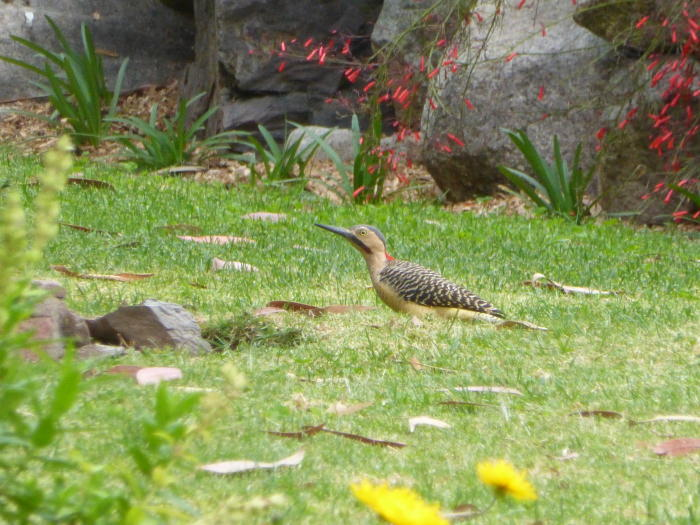 Andean Flicker - Vegetarian Peru Adventures