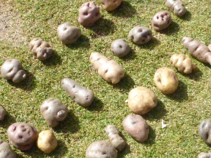 Andean Potatoes - Vegetarian Peru Adventures