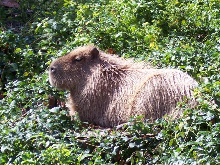 Capybara - Vegetarian Peru Adventures