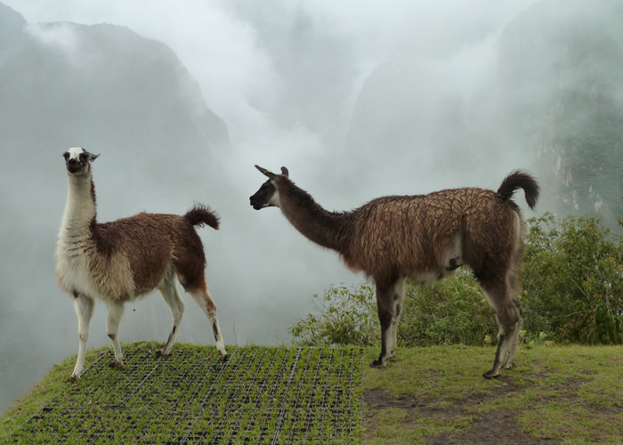 Lamas at Machu Picchu - Vegetarian Peru Adventures