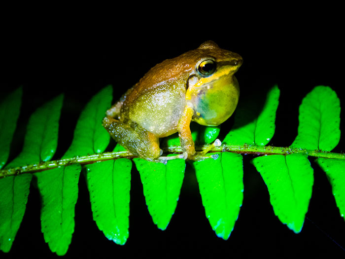 Rainforest Frog - Vegetarian Peru Adventures