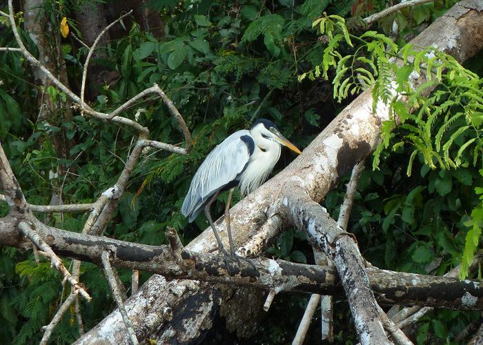 Cocoi Heron in Manu Park - Vegetarian Peru Adventures