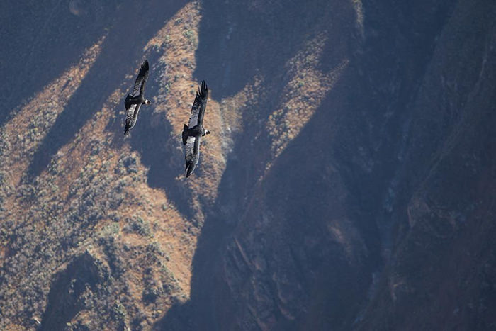 Condors Soaring over the Apurimac Canyon - Vegetarian Peru Adventures
